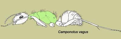camponotus vagus fiche d'élevage